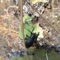 un escarabajo come-nopales