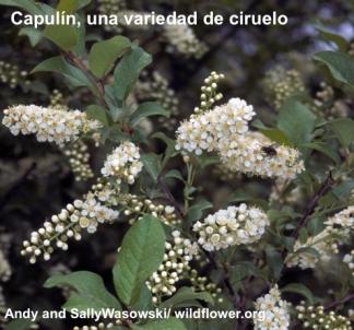 capulin