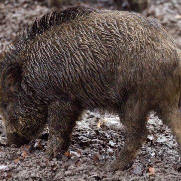 animal-eating-mud-38521