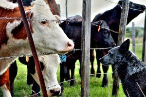 animals-cows-dog-21123
