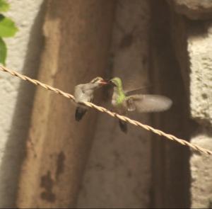 colibries small