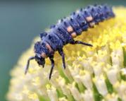 larva catarina