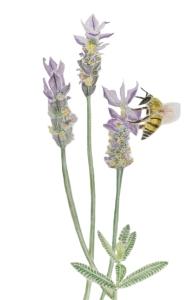 lavanda dentata 2 con abeja lista